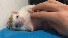 Cute Funny Babies, Cute Funny Animals, Cute Baby Animals, Animals And Pets, Hedgehog Pet, Cute Hedgehog, Cute Rats, Cute Hamsters, Funny Animal Videos