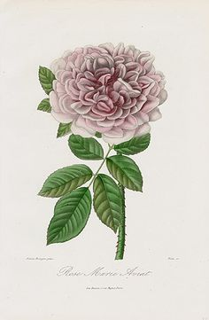 """Rose """"Marie Aviat"""" - 1884 Roses et Rosiers Prints by E. Donnaud"""