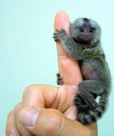 The finger monkey is the tiniest living primate in the world. It's so small that it can hold on to your finger. Finger monkeys are, as a matter of fact, pygmy marmosets. They are also known by the names 'pocket monkey' and 'tiny lion'. These primates belong to the family Callitrichidae, species Cebuella and genus C. pygmaea. They are native to rain-forests of Brazil, Peru, Bolivia, Ecuador and Colombia.  - I want one. by margaret.ramos.982