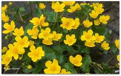 Marsh marigold.