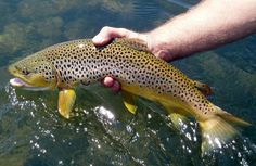 Fly Fishing the Missouri River in Montana - Montana Fly Fishing Guides Trout Fishing Tips, Fishing Guide, Fishing Lures, Fishing Trips, Missouri River, Brown Trout, Fishing Outfits, Sea Fish, Gone Fishing