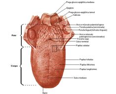 Aula de Anatomia - Sistema Digestório