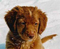Nova Scotia Duck Tolling Retriever puppy!