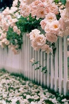 Soft pink roses behind white picket fence