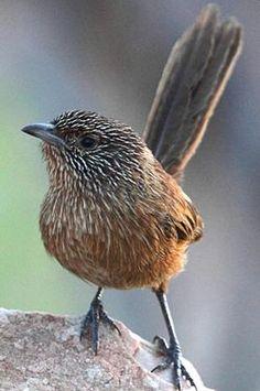 El maluro sombrío o ratona de la hierba oscura (Amytornis purnelli)2 3 es una especie de ave paseriforme de la familia Maluridae. Es endémica de las regiones centrales de Australia. Es una especie difícil de observar, pero localmente es muy común. La tendencia de la población está en aumento, y la especie está clasificada como preocupación menor.