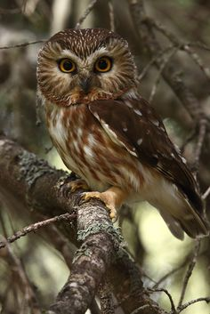 Male Northern Saw-whet Owl