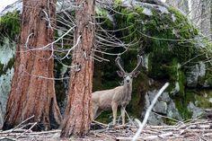 Black Tailed Deer in the Sequoias | by Jane Inman Stormer