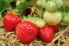 A strawberry patch in the garden or even a few plants in containers can give you plenty of fruit to go straight from the plants to the table. Growing strawberry plants is not hard at Strawberry Plant Runners, Strawberry Planters, Strawberry Patch, Strawberry Desserts, Strawberry Jam, Avocado Dessert, Perennial Vegetables, Fruits And Vegetables, Avocado Toast