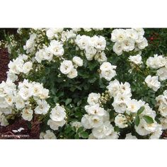 Flower Carpet® roses – also often referred to as The Carpet Rose® – are the world's number one ground cover rose. Once established, some varieties can produce an astonishing display of up to flowers from spring through to autumn. Types Of Flowers, Types Of Plants, Colorful Flowers, White Flowers, Root System, Early Spring, Evergreen, Shrubs