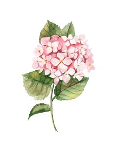 Watercolor botanical drawing by Aleksandra Goga #watercolor #hydrangea