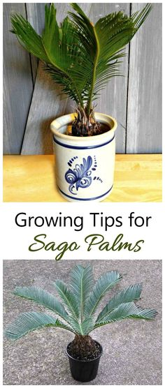 Growing sago palms is great for beginning indoor plant gardeners. Growing sago palms is great for beginning indoor plant gardeners. Palm Trees Garden, Indoor Palm Trees, Indoor Palms, Palm Tree Plant, Trees To Plant, Plants Indoor, Palm Plants, Potted Palms, Indoor Succulents