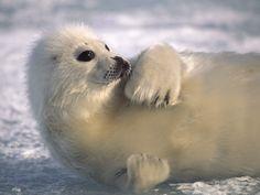 Harp Seal - Atlantic Ocean and Arctic Ocean
