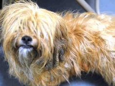 TO BE DESTROYED - 01/26/15 Brooklyn Center  My name is YONKERS. My Animal ID # is A1025849. I am a female brown yorkshire terr and maltese mix. The shelter thinks I am about 2 YEARS   I came in the shelter as a STRAY on 01/20/2015 from NY 11207, owner surrender reason stated was STRAY.