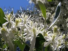 "Clematis flammula - L. ""Fragrant Virgin's Bower"" (10/11)"