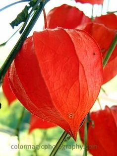 chinese lantern fruit - Google Search