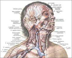 напровления лимфоток на лице - Поиск в Google