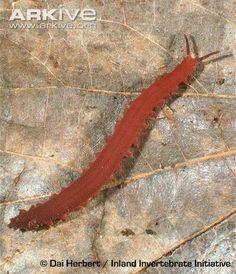 Pink velvet worm