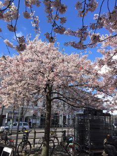 Cherry blossoms in Göteborg, Sweden.