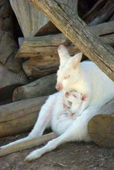 Albino kangaroo and her baby
