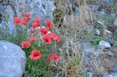 Poppies - read now all about our hike up the old Kotor city walls (Montenegro)