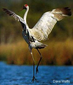 Il Brolga, simbolo di Tourism Northern Territory, così elegante ed aggraziato e non lo avete ancora visto danzare…