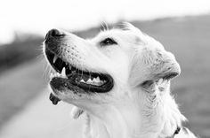 Golden Retriever Greyscale Photography.  (Click to learn more about a gentle dog training method created by New Zealand's leading dog trainer.  Solve over 30 common dog behavior problems.)