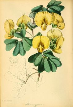 Gotta pea. Amicia zygomeris. This pea relative is a 7 foot tall perennial with yellow flowers, & veined, blue-green leaves that fold at night. Magazine of botany and register of flowering plants [J. Paxton], vol. 13 (1839) [S. Holden]