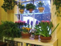 I need to do this next year  Hardy Bulbs. If, in early October, you joined me in a big bulb-potting campaign, you can bring the hardy Dutch-types (tulips, hyacinths, daffodils, crocus, etc) out of cold, dark storage now. Set the bulbs in your sunniest window, keep temperatures on the cool side (55-65 degrees is ideal), and in about a month you'll be rewarded with fabulous color and scent.