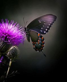 Butterflies & Insects - Beautiful Black Butterfly at work. Papillon Butterfly, Butterfly Kisses, Butterfly Flowers, Butterfly Wings, Beautiful Butterflies, Purple Butterfly, Beautiful Beautiful, Purple Flowers, Beautiful Flowers