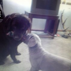 Our champagne lab Lou as a puppy and our chocolate lab Katie (now deceased) :(