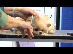 Pinned from Groomer TV. Grooming the Perfect Teddy Bear Head, by Sue Watson.