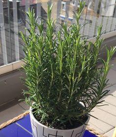 Al buen Romero para un rico olor en el pelo. Plants, Plant, Planting, Planets