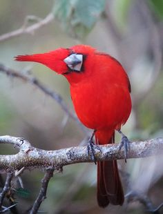 red birds are sooooooooooooooooooooo pretty and i have red hair. Pretty Birds, Beautiful Birds, Animals Beautiful, Beautiful Life, Beautiful Pictures, Exotic Birds, Colorful Birds, All Birds, Love Birds
