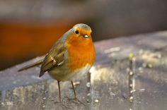 DSC_0043 Winter morning Robin Happy Christmas by wilkie,j ( says NO to badger cull :(, via Flickr