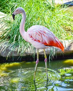 Chilean Flamingo @santabarbarazoo #fancyshanty #fb