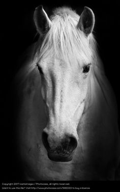 White horse's black and white portraits