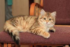 Golden Siberian kitten