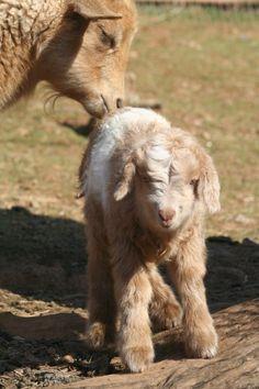 Bagshaw you need some of these :) Nigora Nigerian Dwarf/Angora cross goats Farm Animals, Animals And Pets, Funny Animals, Cute Animals, Mini Goats, Cute Goats, Goat Farming, Farming Life, Miniature Goats