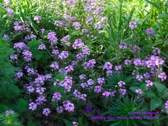I've already bragged about verbena 'Imagination' in a previous post. Again, this is a plant with frilly blooms and frilly foliage. Tough as nails, this verbena is a ground-sprawler that blooms non-stop from spring until hell freezes over. And, yes—it self-sows. It is easy to pull, so no worries