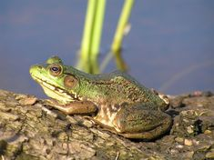The Green Frog is a lg, true frog w lg, distinct tympanum & prominent dorsolateral ridges. It may be green, bronze or brown, or a combinat'n but is typically green on the upper lip. The belly is white with darker lines or spots. There may be some irregular spotting on the back. It is distinguished from other frogs in that the dorsolateral ridges run only partway down the back & do not reach the groin. The hind legs have dark bars. Males have a bright yellow throat.Size 10 cm. max.