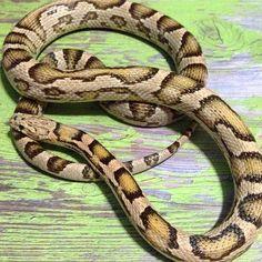One of my specter cornsnakes.  #colubridbreeder #colubridsofig #cornsnakeofinstagram #cornsnakes #morphs #petloversofinstagram #petsofig #reptile #reptilelover #snakemorphs