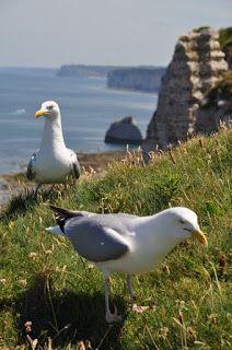 Seagull - Goeland à Etretat - France