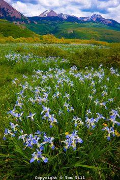 Wild iris blooms.La Sal Mountains, Utah.Manti-La Sal National Forest.Iris missouriensis