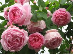 'Constance Spry' David Austin rose | Photo: LINCKERSBERG on HMF