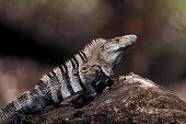 Spiny-tailed Iguana , Male. Tropical Dry Forest, Costa Rica