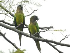 Brown throated parakeets