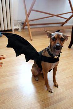 Tutorial: Dog Bat Costume - Life at Cloverhill Big Dog Costumes, Pet Halloween Costumes, Halloween Projects, Halloween 2020, Halloween Ideas, Taco Costume, Zeus Costume, Bat Dog, Pet Boarding