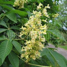 image de Aesculus glabra Spring Blooms, Spring Flowers, Ohio Buckeyes, Street Trees, Woody, Photos, Herbs, Yellow, Image