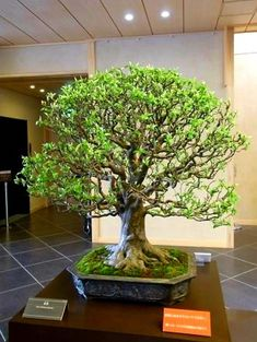 Bonsai tree pots are available in a huge array of sizes, shapes and colors but making sure you select the correct pot for your Bonsai tree is important. Indoor Bonsai, Bonsai Plants, Bonsai Garden, Bonsai Ficus, Bonsai Forest, Buy Bonsai Tree, Bonsai Tree Types, Plantas Bonsai, Bonsai Styles