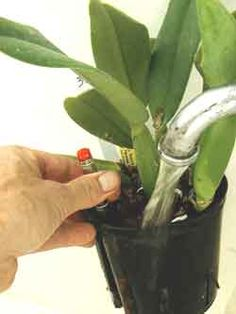 Orchid Care - Cattleya